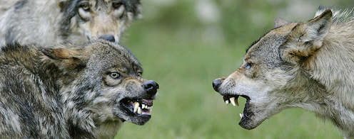 ulve angriber mennesker